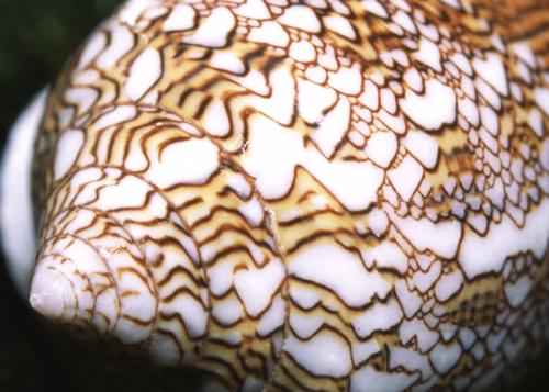 Conus textilis