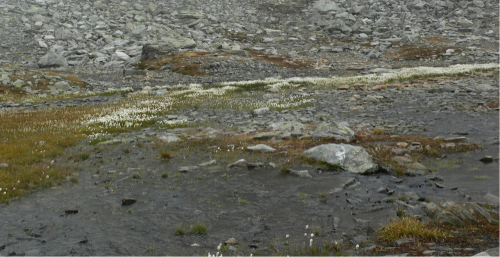 Unser Marsch wird plötzlich aufgehalten von einem sumpfigen Teich, um den wir herumgehen. Er ist umsäumt von Blumen mit seidenweichen weißen Büscheln, dem Wollgrasflöckchen. Ihr grüner Stängel ist wie Gummi, er biegt sich unter unseren Schritten und schnellt gleich wieder hoch, und der Pfad taucht auf und verliert sich wieder im Geröll und auf den Weiden.