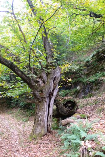 Wir gehen unter ausladenden Birken mit zarten Zweigen, dann im grünen Schatten von alten riesigen Kastanienbäumen; die Stämme sind faltig, voller Wülste, Furchen und auch Einkerbungen, und dennoch wachsen kräftige, himmlische Triebe aus ihnen heraus. Diese Kastanien im Tessin sind dem Untergang geweiht, im Lauf der Zeit werden sie alle von einer Krankheit befallen werden.